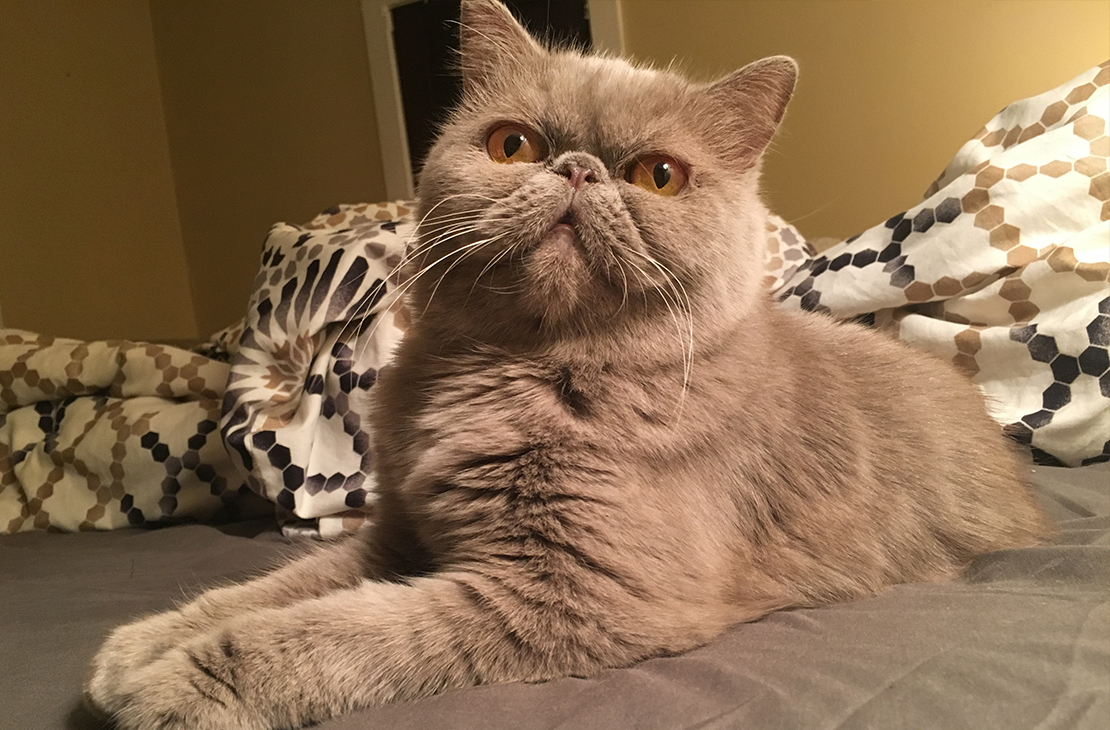 exotic shorthair female