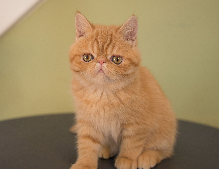 exotic shorthair claire
