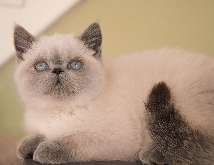 exotic shorthair oyster