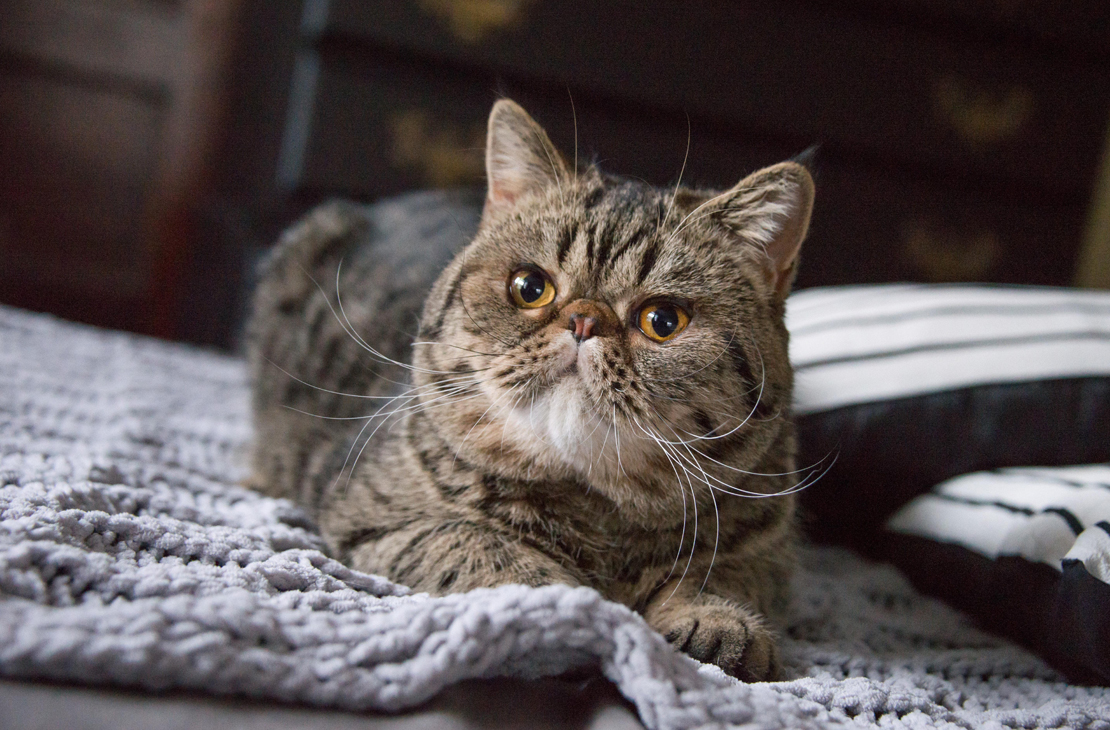 exotic shorthair male